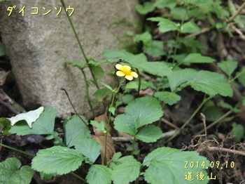 P9108384ダイコンソウ2縮.jpg